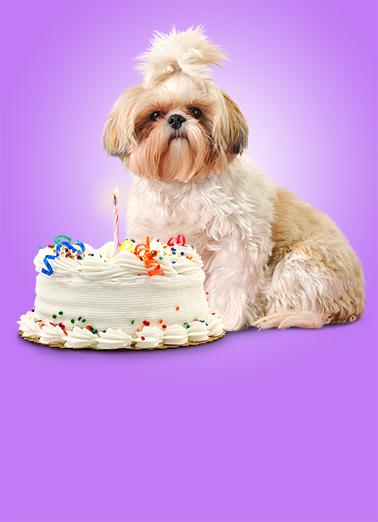 Shihtz Birthday Cake Ecard Cover